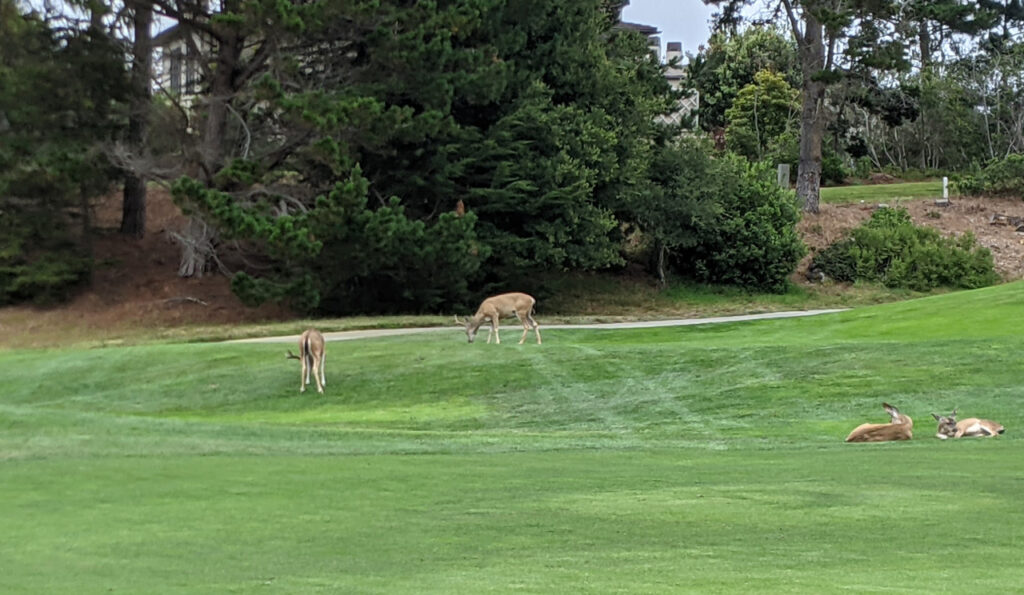 Deer on the 12th fairway to Spanish Bay